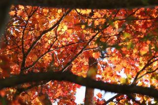 紅葉1 長野市奥裾花自然園