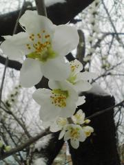 ロトウザクラ 長野市立図書館  (携帯)2007/3/13