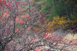 ミヤマウメモドキ 唐花見湿原
