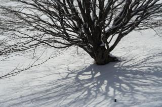 冬の大カエデ