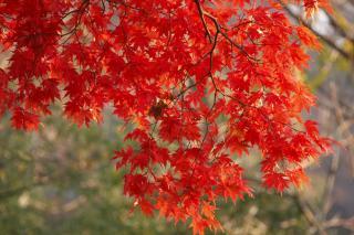 カエデ  2008/11/15 長野市小丸山公園