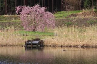 軍足池のしだれ桜