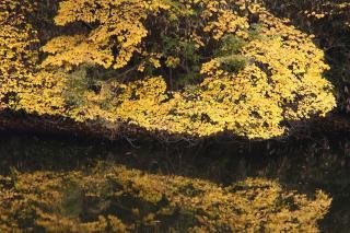 黄葉を映す