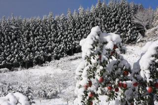雪りんご2