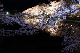 臥竜公園夜桜