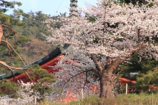 雲上殿の桜