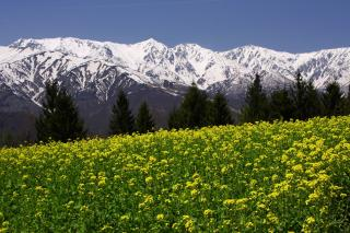 菜の花畑と白馬三山