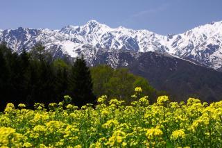 五竜岳と菜の花畑
