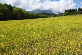 菜の花と高妻山