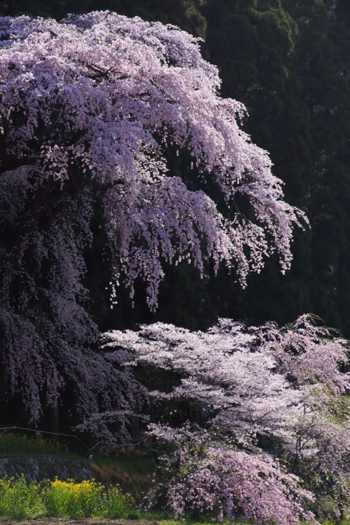 大日方観音堂のシダレ桜